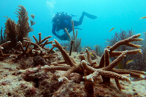 University of Miami scientists are working to restore coral reefs along the Florida Reef Tract.