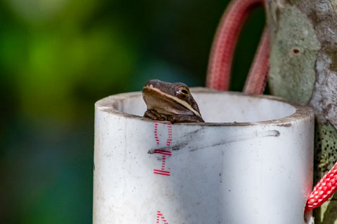 A green tree frog, which is native to Florida, peers out of a pipe used for temporarily trapping reptiles and amphibians to document their presence in the Everglades. Photo courtesy of Hunter Howell/University of Miami.